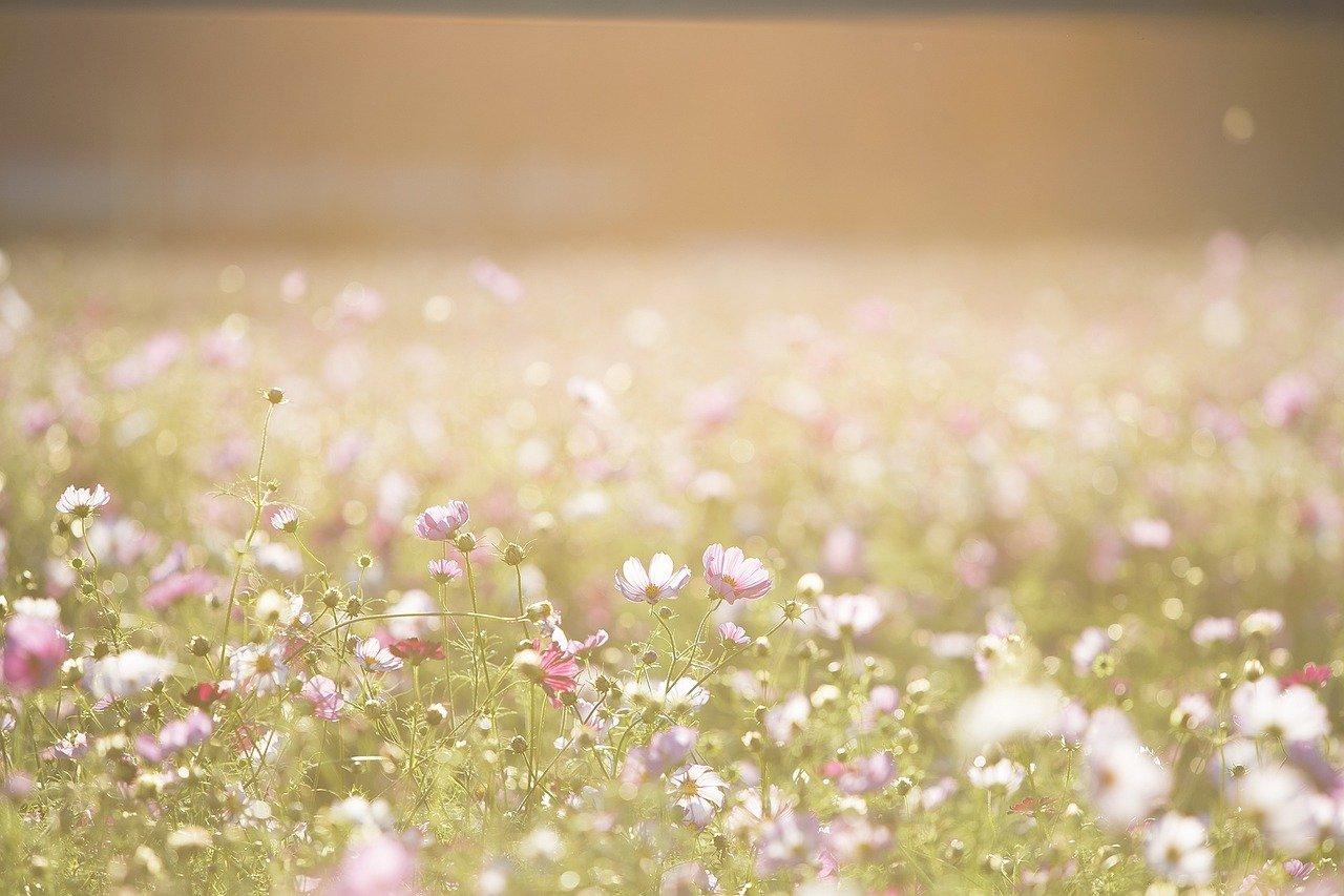 cosmos-flowers-1138041_1280