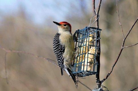 red-bellied-woodpecker-6009164_1280
