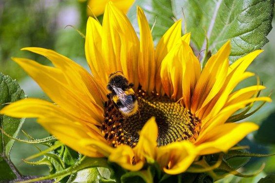 sunflower-4312504_1280
