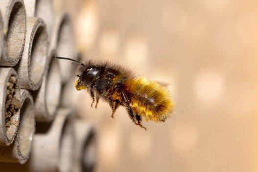 wild-bee-5098602_1280